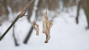 Lonely dry leaf sways in the wind on a tree branch in winter forest winter snow nature landscape. Lonely dry leaf sways in wind on a tree branch in winter forest Stock Photography