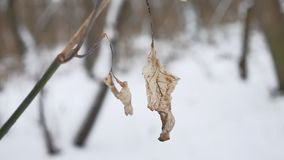 Lonely dry leaf sways in the wind on a tree branch in winter forest winter snow nature landscape. Lonely dry leaf sways in wind on a tree branch in winter forest Royalty Free Stock Image