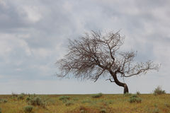 Lonely dry tree Stock Images