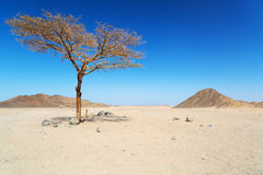 Lonely dry tree on the egyptian desert Royalty Free Stock Photos