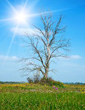 Lonely dry tree on green meadow Royalty Free Stock Photo