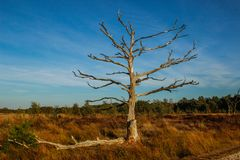 Lonely dry tree with spreading bare branches in autumn against the blue sky in a European forest royalty free stock photos