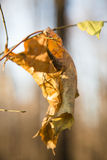 Lonely dry yellow leaf on a branch close up Royalty Free Stock Photos