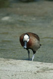 Lonely duck. Common duck with white head walking alone Stock Photos