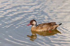Lonely Duck. Swimming in the pond Stock Image