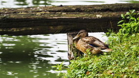 Lonely duck Royalty Free Stock Photo