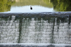 Lonely duck on the cascade. Lonely duck on top of river waterfall Stock Photo