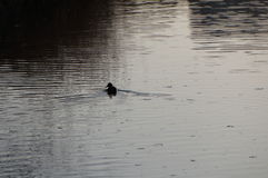 Lonely duck. Daejeon, Capjeong river, lonely duck swimming looking back Stock Photography