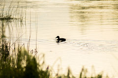 Lonely duck. Duck at dawn on river Stock Photo