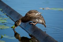 A lonely duck drinks water. In a river Stock Photo