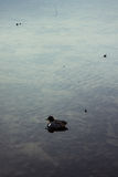 Lonely duck floating in pond Royalty Free Stock Photos