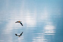 Lonely Duck Flying Over a Calm Blue Lake Stock Photos
