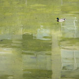 Lonely duck on a green pond Royalty Free Stock Photography