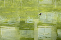 Lonely duck on a green pond Royalty Free Stock Images