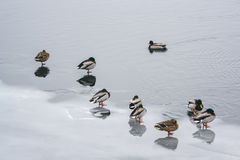 Lonely duck and a group of ducks on the ice on the river in winter Royalty Free Stock Image