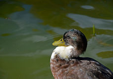 Lonely duck making sunbath. Mallard duck with white and brown feather Royalty Free Stock Images