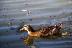 Lonely duck in the middle of the pond Royalty Free Stock Photo