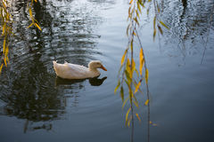 Lonely duck in the middle of the pond Royalty Free Stock Images