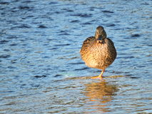 Lonely duck on one leg resting in the creek Royalty Free Stock Photo
