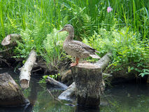 Lonely duck pretending to be a statue. A lonely duck sitting on a dull tree at the Spreewald River Stock Image
