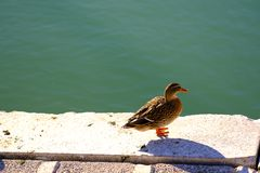 Lonely duck somewhere at coastline. Good quality photo of a lonely duck sitting somewhere at pier or coastline. The bird looks somewhere to the right. Warm royalty free stock photos