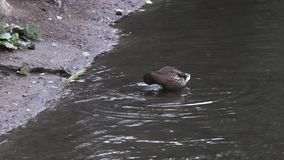 Lonely duck standing in cold spring water near the river shore, life of animals. Footage. Brown duck in the river flow. Lonely duck standing in cold spring water stock video footage