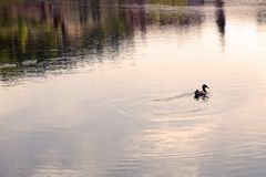 Lonely duck swim in the pond at sunset. summer evening wild nature Landscape royalty free stock images