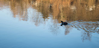 Lonely Duck Swimming alone. Lonely Duck Swimming in a River in Italy Alone Far Away stock images