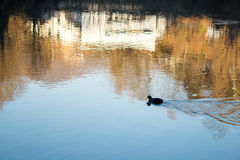 Lonely Duck Swimming alone. Lonely Duck Swimming in a River in Italy Alone Far Away stock photography