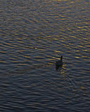 Lonely Duck Swimming at Lake at Sunset Time Stock Photos
