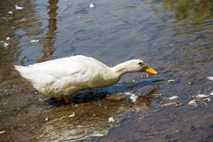 Lonely duck in the waters of the pond. Lonely duck moving in the waters of the pond Stock Image