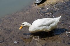Lonely duck in the waters of the pond. Lonely duck moving in the waters of the pond Royalty Free Stock Images