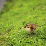 Lonely duckling. Macro shot of a duckling Royalty Free Stock Images