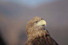 Lonely eagle Royalty Free Stock Images