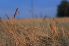 Lonely ears of wheat royalty free stock photography