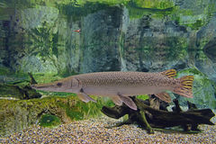 A lonely but elegant alligator gar swimming in clear water. A lonely but elegant alligator gar swimming gracefully in clear water with rocks in the background Royalty Free Stock Images
