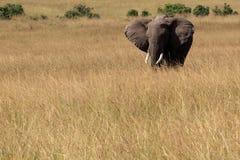 Lonely elephant Royalty Free Stock Image