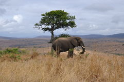 Lonely Elephant Stock Image