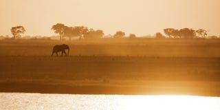 Lonely Elephant Bull Crossing Zambezi Plains. Lonely Elephant Bull Walking Across the  Zambezi Plain at Sunset in Chobe National Park, Botswana, Southern Africa Royalty Free Stock Images