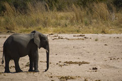 Lonely elephant calf II Royalty Free Stock Image