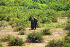 Lonely elephant surrounded by greenery Royalty Free Stock Photos