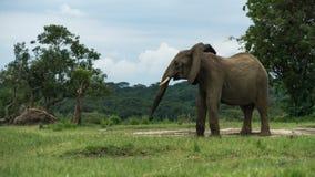 Lonely elephant in uganda royalty free stock photos