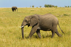 A lonely elephant walking on Masai Mara Royalty Free Stock Images