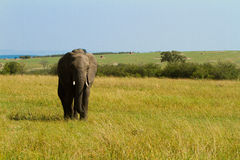A lonely elephant walking on Masai Mara Stock Images