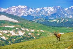 Lonely Elk Alpine Meadow Royalty Free Stock Photography