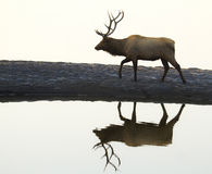 Lonely Elk Walking Beside Lake Royalty Free Stock Images