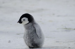 Lonely Emperor Penguin chick. Emperor Penguin chick (Aptenodytes forsteri) alone on the ice Stock Photography