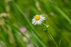 Lonely Erigeron annuus flower in summer time Stock Photos