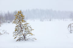Lonely evergreen tree under strong blizzard Stock Image