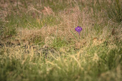 Lonely Farmer Crocus!. Beautiful Farmer Crocus on the street - March 2017, Groningen Netherlands Royalty Free Stock Photography